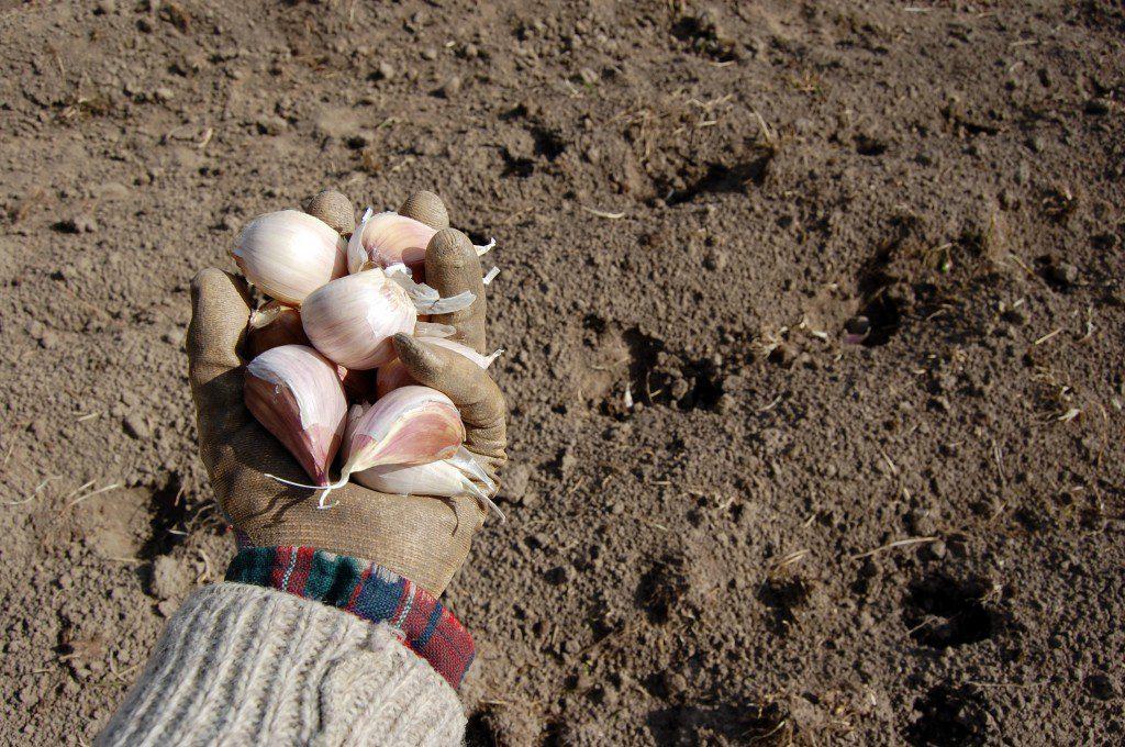 GarlicPlanting_SS