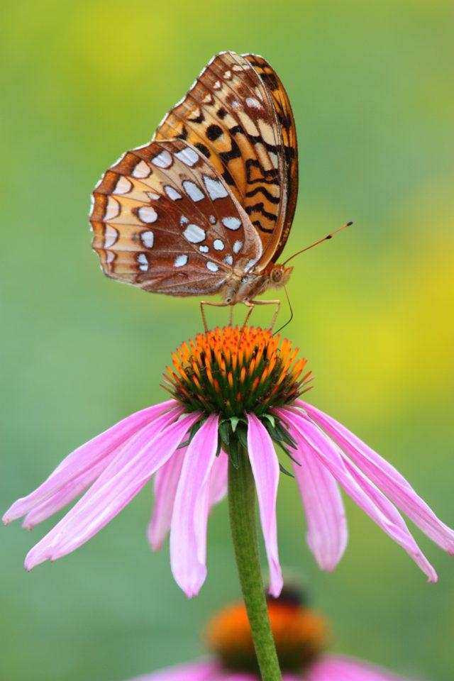Butterflies_GreatSpangledfritillary