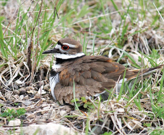 killdeer_nest