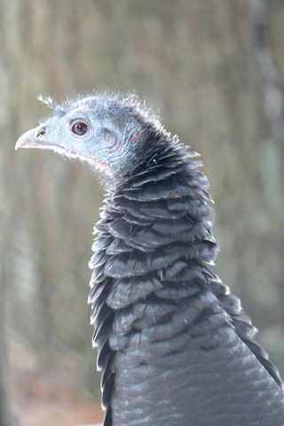 ONC_wild_turkey